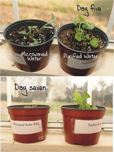 With microwaved water – 7 day test