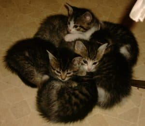 Myron (top) and his siblings as kittens. They're now 3 years old and big enough to snatch tomatoes…