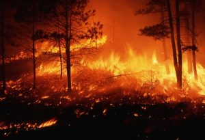 Forest fire burning out of control in a pine forest on the Mescalero Apache Indian Reservation in New Mexico. November 1995, Mescalero Apache Indian Reservation, New Mexico, USA.